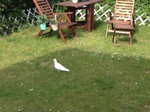 eine weisse Taube hatte sich in unseren Garten verirrt