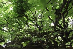 ich stand unter vielen Linden die alle miteinander verbunden waren,ein magischer Ort