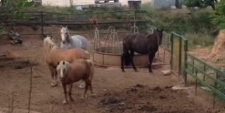 Pferde_Apulien