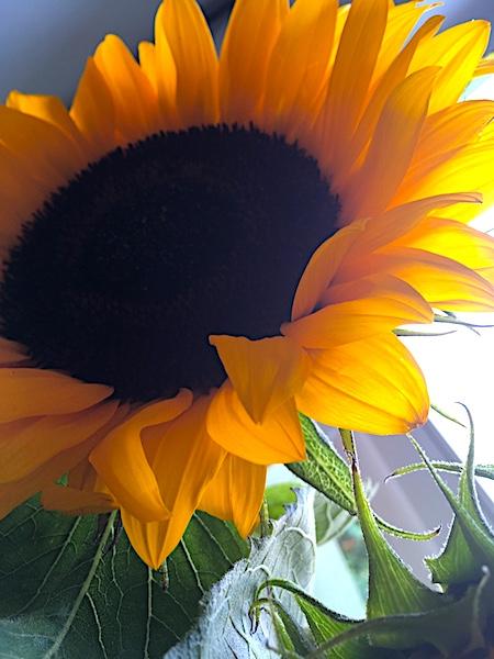 WiB-22-23.07.17-Sonnenblumen